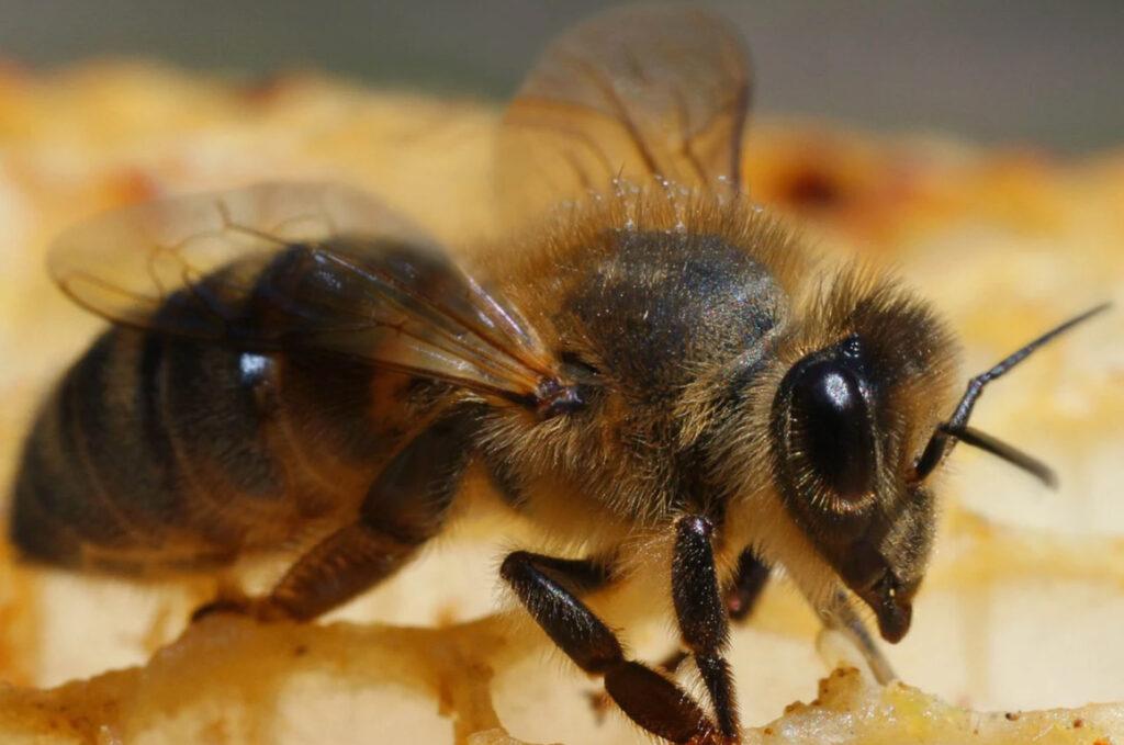 Иллюстрация №6. Бурзянская пчела